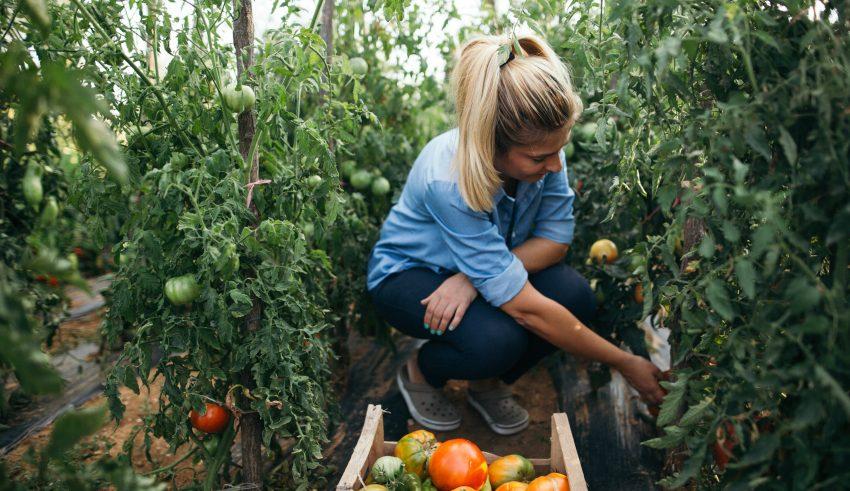 kobieta zbiera pomidory