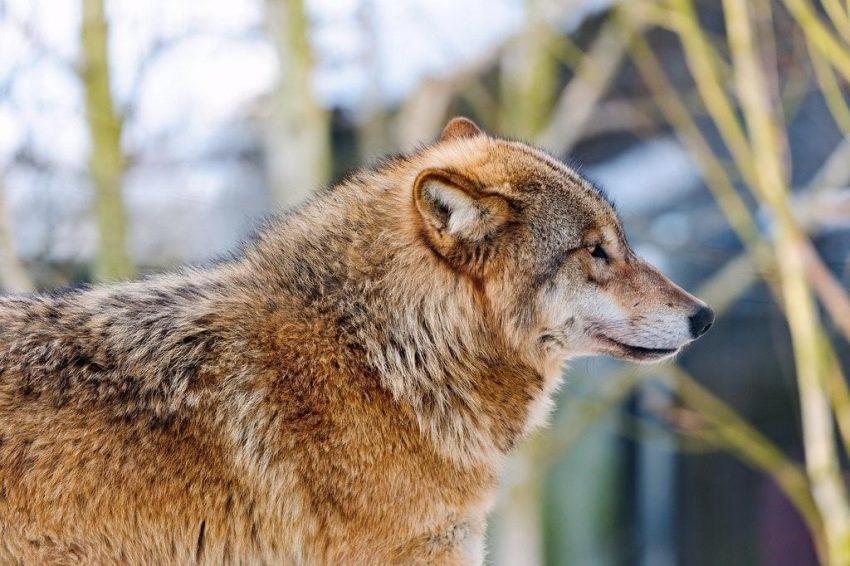 Zagrożony: Wilk