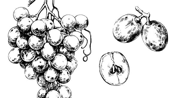 Czerwone winogrona - i nie chorujemy!