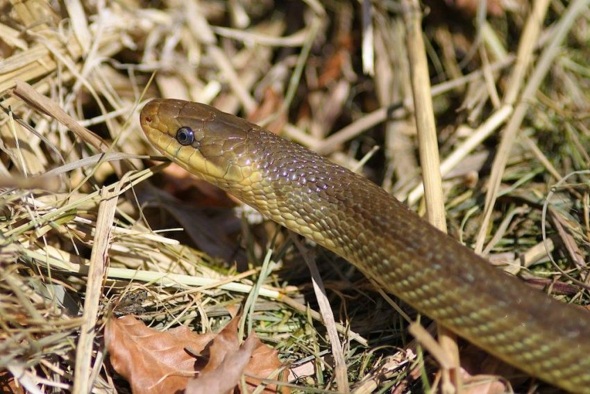 Zagrożony: Wąż Eskulapa