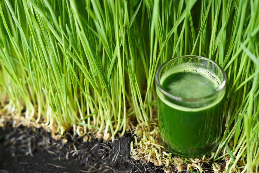 Trawa pszeniczna – zielony superfood