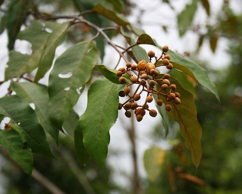 amazońska roślina z pomarańczowymi kulkami