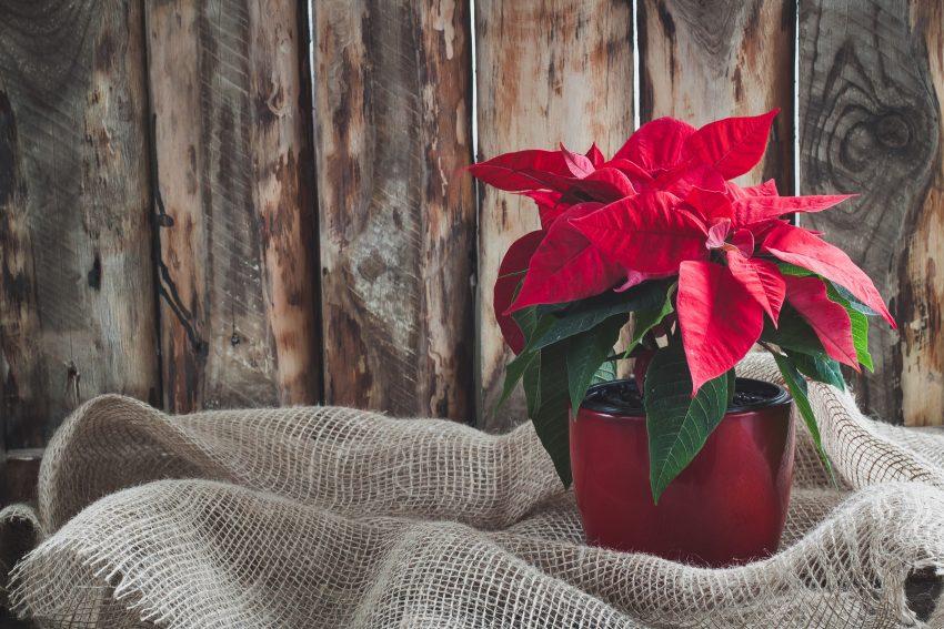 Czerwona gwiazda betlejemska w czerwonej doniczce stoi na stole przykrytym wikliną, w tle drewaniana ściana