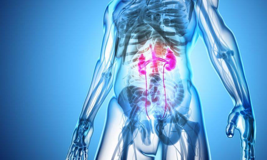 Układ moczowy człowieka przygotowującego się do urografii