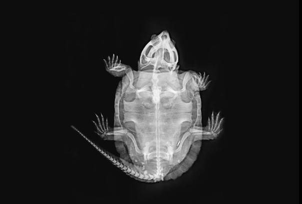 RTG żaby