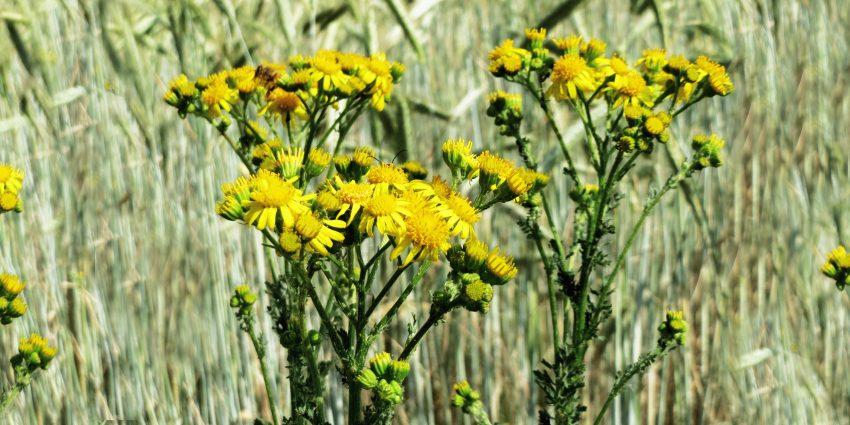Starzec jakubek, toksyczna roślina