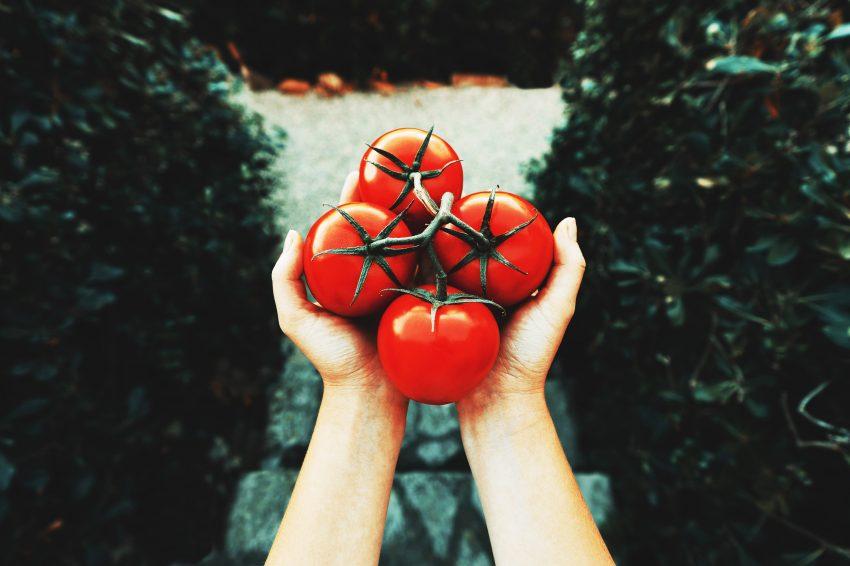 kiść pomidorów